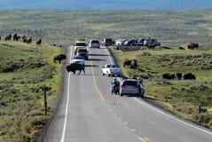 Bison som korsar vägen Royaltyfri Bild