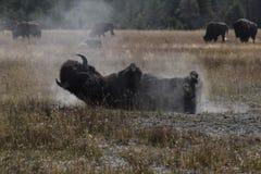 Bison som tar ett sandbad Arkivfoto