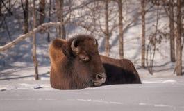 Bison som vilar i snön Arkivfoto