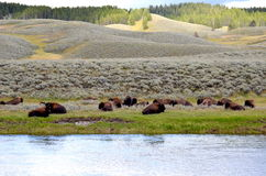 Bison som vilar på en äng Arkivfoton