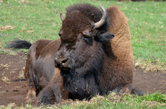 Bison. Sometimes erroneously called buffalo, are large, even-toed ungulates in the genus  within the subfamily Bovinae Stock Photography