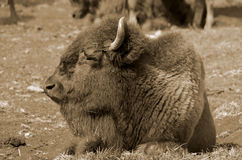 Bison. Sometimes erroneously called buffalo, are large, even-toed ungulates in the genus  within the subfamily Bovinae Royalty Free Stock Photography