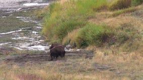 Bison Sparring voor Overheersing stock footage