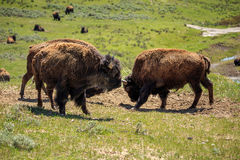 Bison sparring. Wild bison in Yellowstone, wyoming, USA Royalty Free Stock Photos