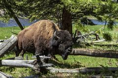 Bison standing near logs in Yellowstone royalty free stock photography