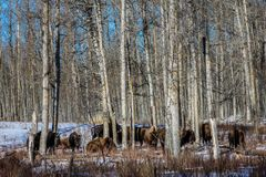 Bison in the woods, Elk Island National Park, Alberta, Canada. Bison standing in a heavily wooded area milling about as a herd Stock Photography