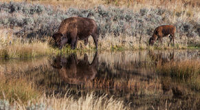 Bison. Standing in a pond with reflections Royalty Free Stock Photography
