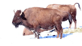Bison Standing in Snow stock video