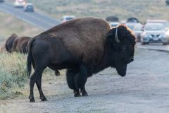 Bison Stands at the Edge of Busy Road in Yellowstone. National Park Stock Photos