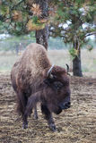 Bison stands in pasture. Stock Photos