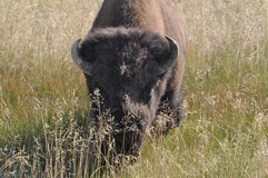 Bison stare down. Bison bull staring down the camera Stock Photography