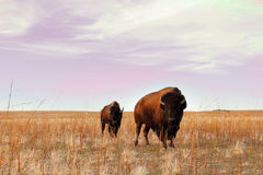 Bison Stare Down. Two Buffalo graze on a golden field at Antelop Island Park in Utah Royalty Free Stock Image