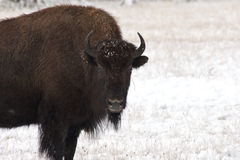Bison stare in the snow. A bison cow staring in the snow stock images