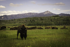Bison staredown. A bison staring into the camera lens. standing in a herd outside of a national park Stock Images