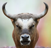 Bison staring at the camera. Royalty Free Stock Photography