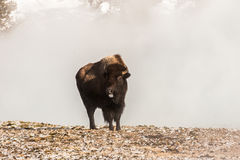 Bison Sticking His Tongue Out image stock