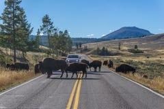 Bison Stop Traffic in Yellowstone Fotografia Stock Libera da Diritti