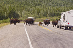Bison stopping Alaska highway traffic royalty free stock photography