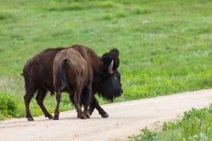 Bison Strength Contest fotos de archivo