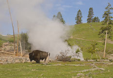 Bison strolls near a geyser in Yellowstone. Royalty Free Stock Images