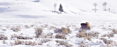 Bison struggling in winter blizzard. Bison lying in snow struggling to survive winter blizzard Royalty Free Stock Photography