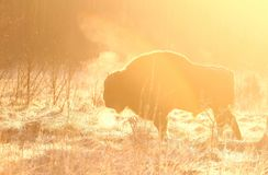 Bison in sunrise. Massive wild european bison in Poland Royalty Free Stock Photos