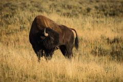 Bison in the sunset Royalty Free Stock Image