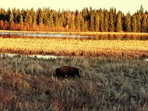 Bison during the sunset. Elk Island National Park, in Alberta, Canada. Back drop of a beautiful sun set among the trees and water Royalty Free Stock Photo