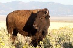 Bison sur l'île d'antilope Photographie stock libre de droits