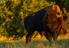 Bison sur la prairie photos stock