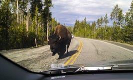 Bison sur la route Photo libre de droits