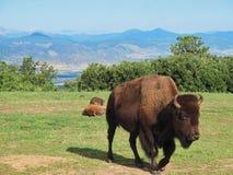 Bison sur le vagabondage Photos stock