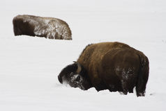 Bison sweeping snow. This is a bison sweeping snow with his head to find food in the deep snow in yellowstone park Stock Photo