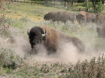 Bison taking a dust bath Royalty Free Stock Photography
