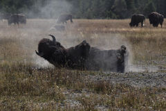 Bison taking a sand bath Stock Photo