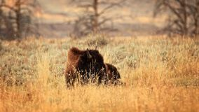 Bison in the Tall Grass. Lounging bison in the tall grasses of Yellowstone National Park Stock Image