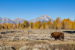 Bison in the Tetons Stock Image