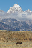 Bison and the Tetons Royalty Free Stock Images