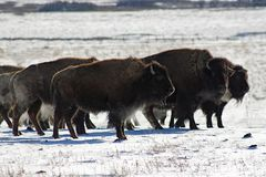 Bison in theCold Stock Photos