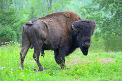 Bison. In their natural habitat Royalty Free Stock Photos