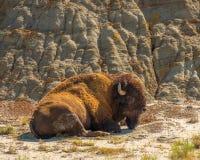 Bison Theodore Roosevelt National Park royaltyfri fotografi