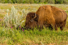 Bison Theodore Roosevelt National Park stock images