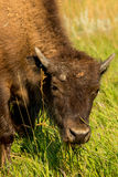 Bison Theodore Roosevelt National Park. South Unit stock photography
