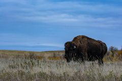 Bison of Theodore Roosevelt National Park stock photo