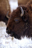 Bison tongue Royalty Free Stock Images