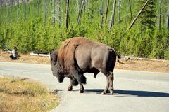 Bison Traffic. Bison wandering down the road in Yellowstone royalty free stock photos