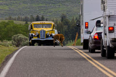 Bison Traffic Jam Immagini Stock Libere da Diritti