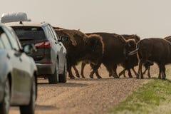 Bison Traffic Jam Along Dirt väg royaltyfri foto