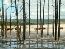 Bison Through Trees, parco nazionale di Yellowstone Immagine Stock Libera da Diritti