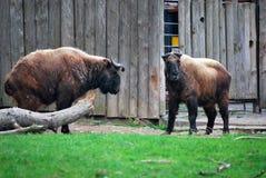 Bison två Arkivfoton